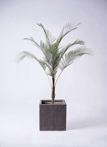 観葉植物 ヒメココス 8号 ベータ キューブプランター ウッド 茶 付き