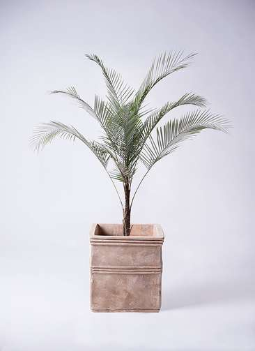 観葉植物 ヒメココス 8号 テラアストラ カペラキュビ 赤茶色 付き