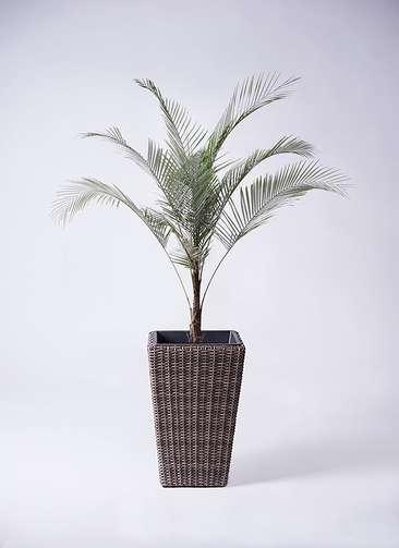 観葉植物 ヒメココス 8号 ウィッカーポット スクエアロング OT 茶 付き