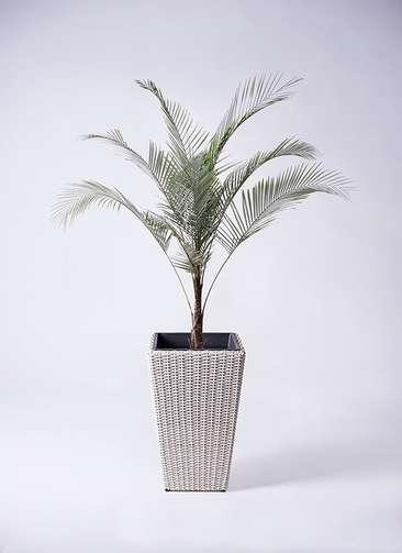 観葉植物 ヒメココス 8号 ウィッカーポット スクエアロング OT 白 付き