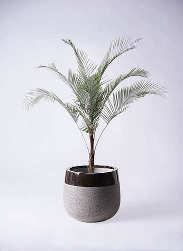 観葉植物 ヒメココス 8号 ファイバーストーンタウルス 黒 付き