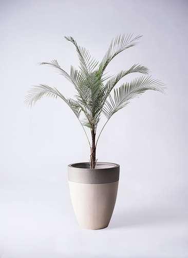 観葉植物 ヒメココス 8号 ファイバーストーンカプリ サンディホワイト 付き