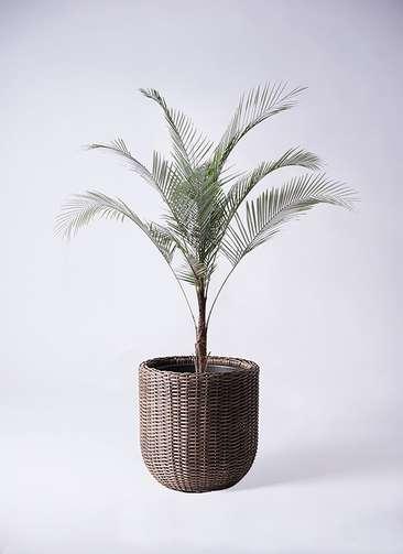 観葉植物 ヒメココス 8号 ウィッカーポットエッグ 茶 付き
