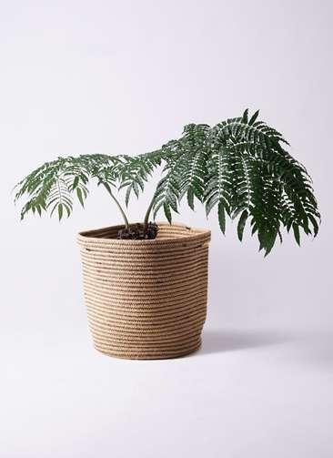 観葉植物 リュウビンタイ 8号 リブバスケットNatural 付き
