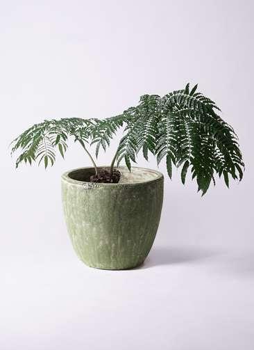 観葉植物 リュウビンタイ 8号 アビスソニアミドル 緑 付き