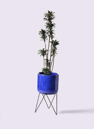 観葉植物 ドラセナ パープルコンパクタ 8号 ビトロ エンデカ 鉢カバースタンド付 ブルー 付き