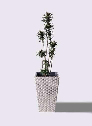 観葉植物 ドラセナ パープルコンパクタ 8号 ウィッカーポット スクエアロング OT 白 付き