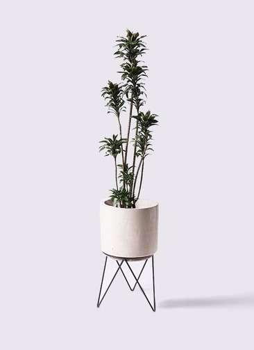 観葉植物 ドラセナ パープルコンパクタ 8号 ビトロ エンデカ 鉢カバースタンド付 クリーム 付き