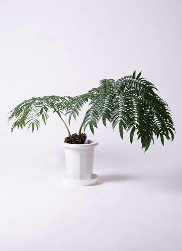 観葉植物 リュウビンタイ 8号 プラスチック鉢