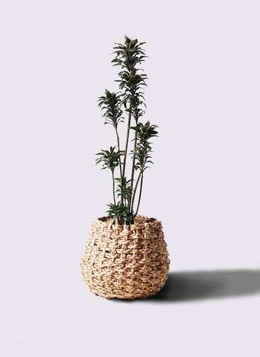 観葉植物 ドラセナ パープルコンパクタ 8号 ラッシュバスケット Natural 付き