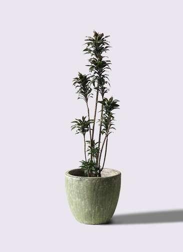 観葉植物 ドラセナ パープルコンパクタ 8号 アビスソニアミドル 緑 付き