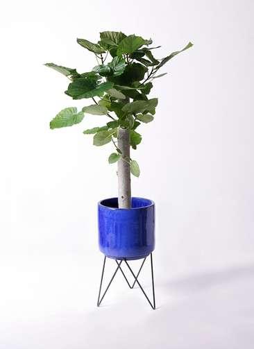 観葉植物 フィカス ウンベラータ 8号 朴 ビトロ エンデカ 鉢カバースタンド付 ブルー 付き