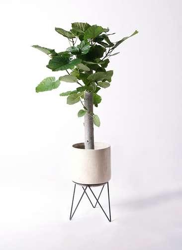 観葉植物 フィカス ウンベラータ 8号 朴 ビトロ エンデカ 鉢カバースタンド付 クリーム 付き