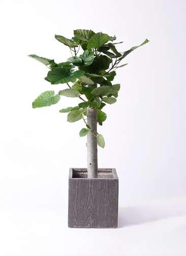 観葉植物 フィカス ウンベラータ 8号 朴 ベータ キューブプランター ウッド 茶 付き