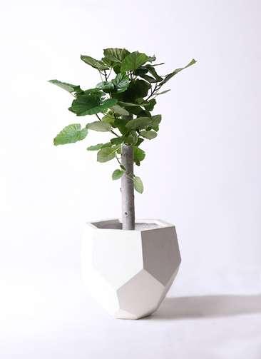 観葉植物 フィカス ウンベラータ 8号 朴 ポリゴヘクサ 白 付き