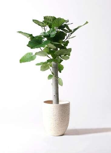 観葉植物 フィカス ウンベラータ 8号 朴 ビアスアルトエッグ 白 付き