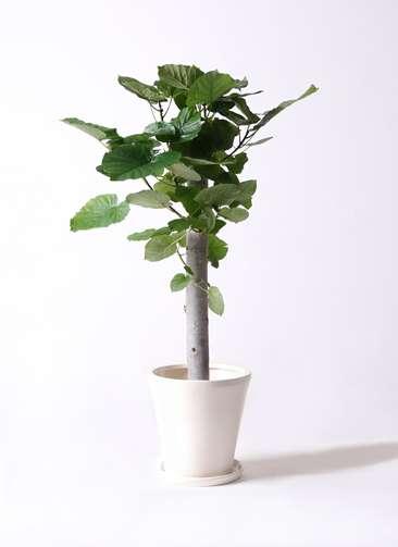 観葉植物 フィカス ウンベラータ 8号 朴 サブリナ 白 付き