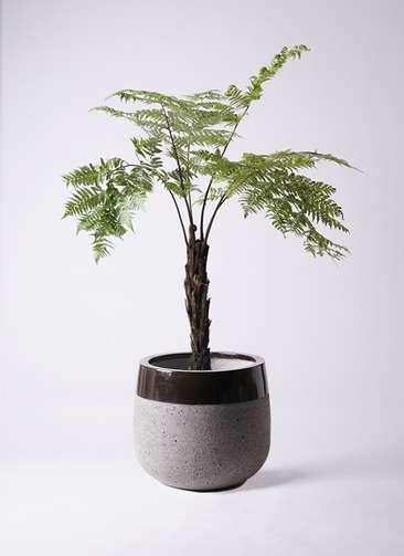 観葉植物 ヘゴ 8号 ファイバーストーンタウルス 黒 付き