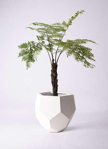 観葉植物 ヘゴ 8号 ポリゴヘクサ 白 付き