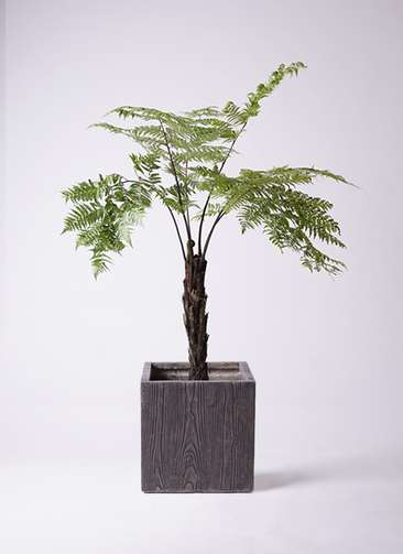観葉植物 ヘゴ 8号 ベータ キューブプランター ウッド 茶 付き