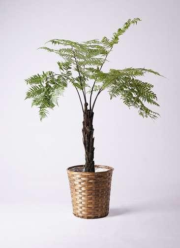 観葉植物 ヘゴ 8号 竹バスケット 付き