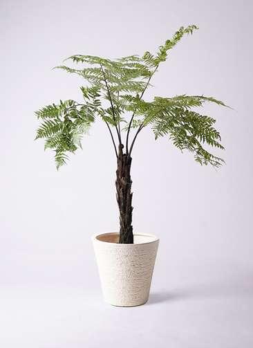 観葉植物 ヘゴ 8号 ビアスソリッド 白 付き