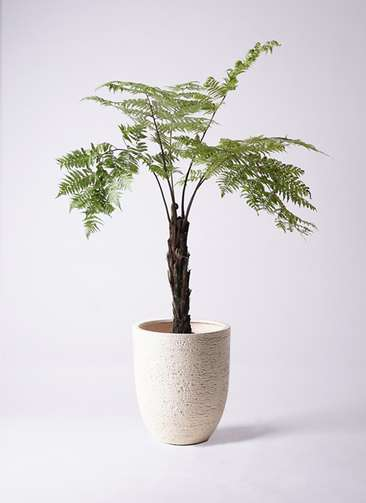 観葉植物 ヘゴ 8号 ビアスアルトエッグ 白 付き