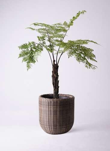 観葉植物 ヘゴ 8号 ウィッカーポットエッグ 茶 付き
