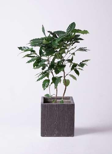 観葉植物 コーヒーの木 8号 ベータ キューブプランター ウッド 茶 付き
