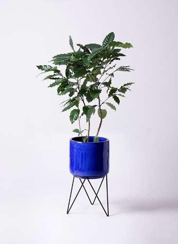 観葉植物 コーヒーの木 8号 ビトロ エンデカ 鉢カバースタンド付 ブルー 付き