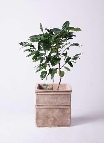 観葉植物 コーヒーの木 8号 テラアストラ カペラキュビ 赤茶色 付き