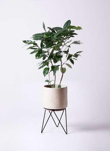 観葉植物 コーヒーの木 8号 ビトロ エンデカ 鉢カバースタンド付 クリーム 付き