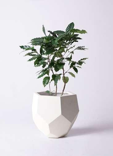 観葉植物 コーヒーの木 8号 ポリゴヘクサ 白 付き