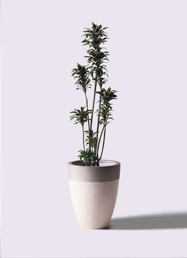 観葉植物 ドラセナ パープルコンパクタ 8号 ファイバーストーンカプリ サンディホワイト 付き