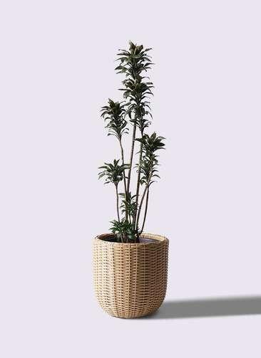 観葉植物 ドラセナ パープルコンパクタ 8号 ウィッカーポットエッグ ベージュ 付き