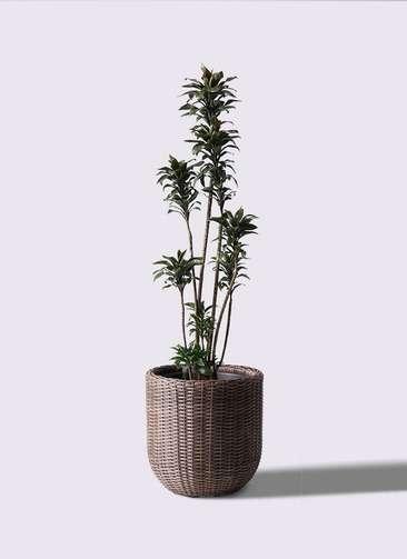 観葉植物 ドラセナ パープルコンパクタ 8号 ウィッカーポットエッグ 茶 付き