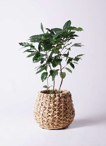 観葉植物 コーヒーの木 8号 ラッシュバスケット Natural 付き