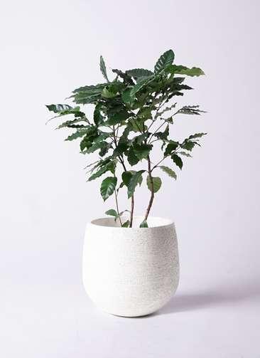 観葉植物 コーヒーの木 8号 エコストーンwhite 付き