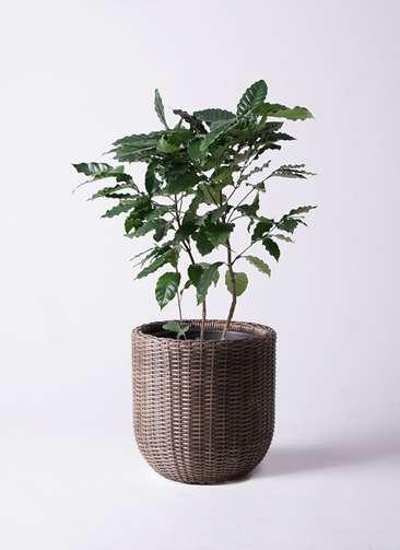 観葉植物 コーヒーの木 8号 ウィッカーポットエッグ 茶 付き