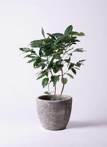 観葉植物 コーヒーの木 8号 アビスソニアミドル 灰 付き