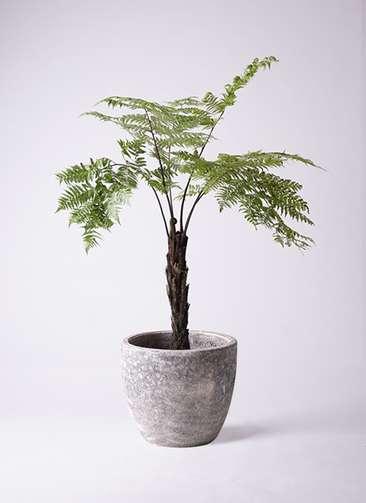 観葉植物 ヘゴ 8号 アビスソニアミドル 灰 付き
