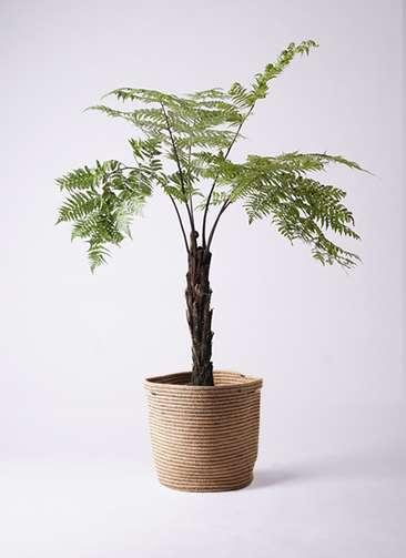 観葉植物 ヘゴ 8号 リブバスケットNatural 付き