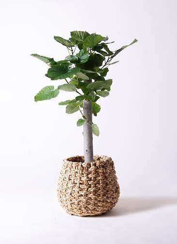 観葉植物 フィカス ウンベラータ 8号 朴 ラッシュバスケット Natural 付き