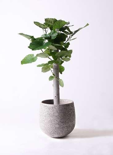 観葉植物 フィカス ウンベラータ 8号 朴 エコストーンGray 付き