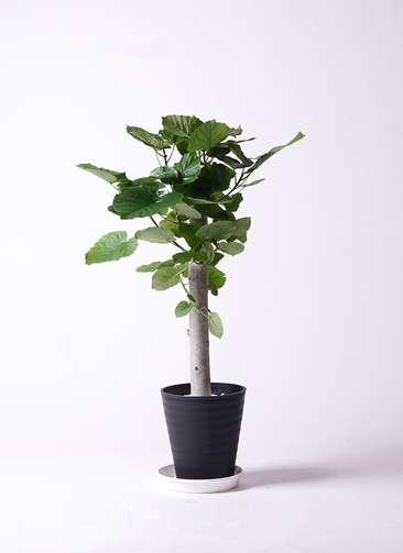観葉植物 フィカス ウンベラータ 8号 朴 プラスチック鉢
