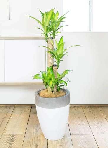 観葉植物 ドラセナ 幸福の木 8号 ノーマル ファイバーストーン カプリ 白 付き