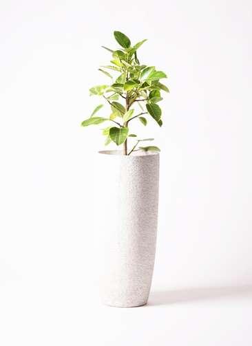 観葉植物 フィカス アルテシーマ 7号 ストレート エコストーントールタイプ white 付き
