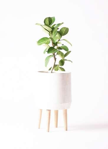 観葉植物 フィカス ベンガレンシス 6号 ストレート ファイバークレイwhite 付き