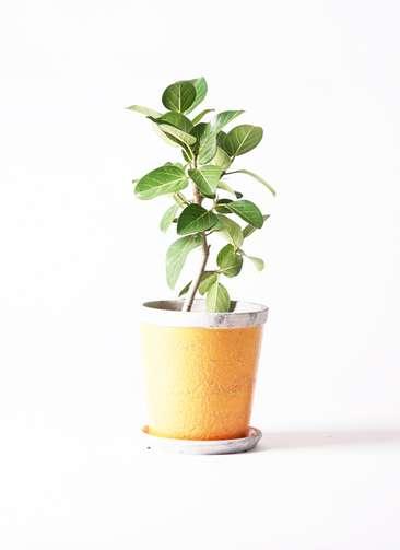 観葉植物   フィカス ベンガレンシス 6号 ストレート アンティークテラコッタOrange 付き