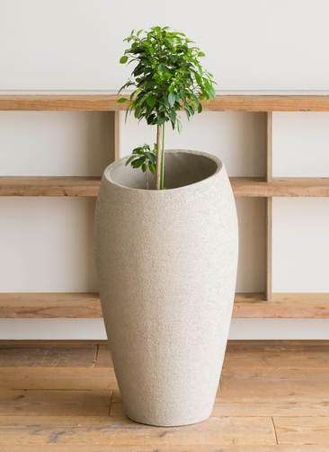 観葉植物 フィカス ナナ 7号 ノーマル エコストーントールタイプ Light Gray 付き